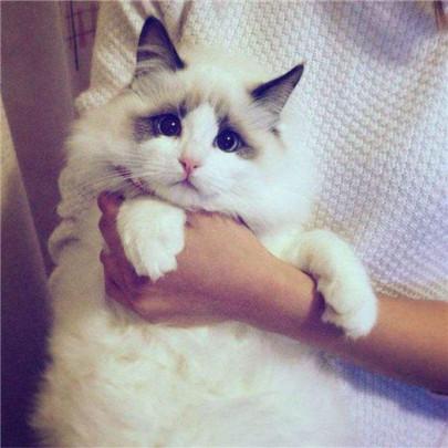 布偶猫为什么会难产?难产的时候有什么表现?有什么解决办法?