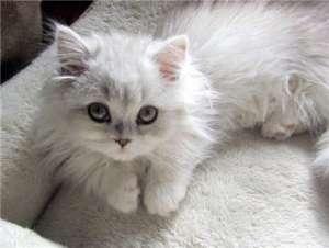 布偶猫为什么会难产?难产的时候有什么表现?有什么解